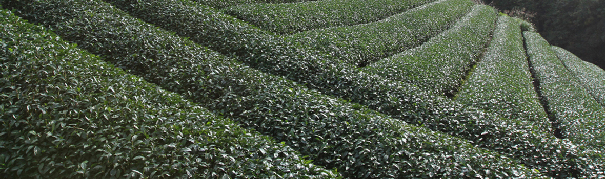 Tealet Growers